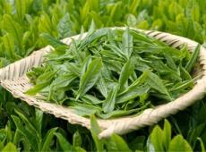 食べる「茶」の有効性